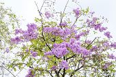 picture of crepe myrtle  - soft focus queen flower on tree in sunny day - JPG