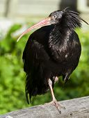 picture of hermit  - The northern bald ibis - JPG