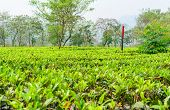 picture of darjeeling  - green tea plantation landscape of Darjeeling India - JPG