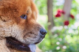 picture of chow-chow  - guard breed of dog chow - JPG