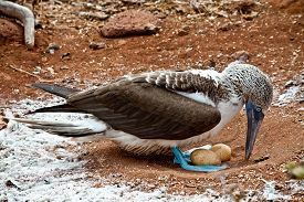 foto of boobies  - Blue footed booby nesting two eggs in the Galapagos Islands, Ecuador ** Note: Shallow depth of field - JPG