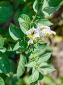 stock photo of potato bug  - potato flowers on green bush in summer garden
