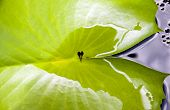 picture of tadpole  - tadpoles sit in a leaf on koh samui - JPG