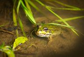foto of amphibious  - Green frog in the water - JPG