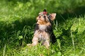 image of yorkshire terrier  - Puppy Yorkshire Terrier walking in the Park on green grass - JPG