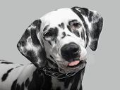 picture of spotted dog  - Dalmatian dog shows tongue close-up studio photo