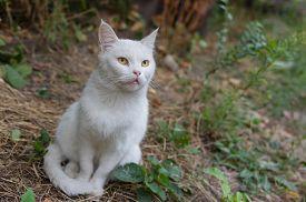 stock photo of hypnotic  - Cute white cat with very hypnotizing eyes - JPG