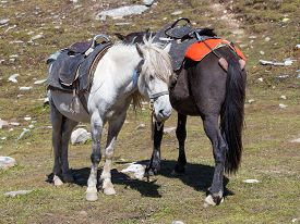image of himachal  - Two horses for tourists on the Rohtang Pass which is on the road Manali  - JPG