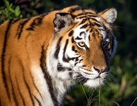 image of tiger eye  - Beautiful big tiger wild cat with striped fur and long whiskers - JPG
