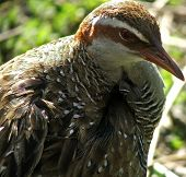 Animal - Banded Rail poster
