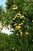 Mango Crop poster