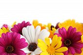 image of daisy flower  - Colorful border made of spring daisies isolated on white background - JPG