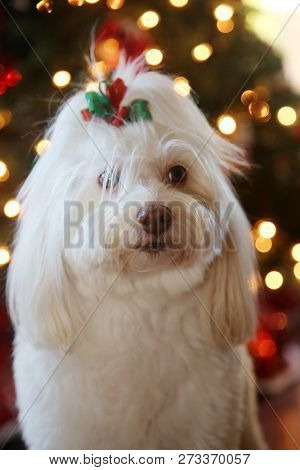 poster of Christmas Dog Portrait. A beautiful Maltese Mix dog poses for her Christmas Photos. Christmas Tree o