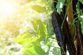 Winged Bean (Princess bean or asparagus pea or Goa bean) on tree in plant. Ready to harvest in the m poster