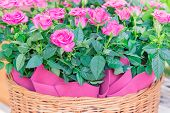 Pink Roses In Wicker Basket, Greeting Card, Natural Background poster