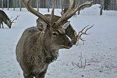Red Deer (cervus Elaphus) Is One Of The Largest Deer Species. Prefers Broadleaf, Subtropical And Tai poster