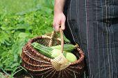 Harvesting Zucchini. Fresh Squash Lying In Basket. Fresh Squash Picked From The Garden. Farmer Holdi poster