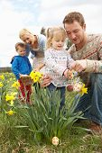 picture of family fun  - Family On Easter Egg Hunt In Daffodil Field - JPG