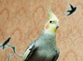 stock photo of cockatiel  - Cockatiel  - JPG
