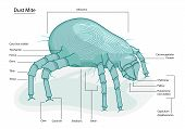image of exoskeleton  - Clearly labeled vector illustration of dust mite  - JPG