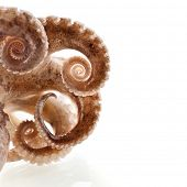 picture of devilfish  -  octopus border macro isolated on white background - JPG
