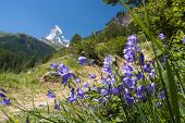 stock photo of harebell  - Matterhorn through harebell, focused on flower in front, horizontal composition.
