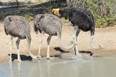 foto of ostrich plumage  - Three Ostriches (two females and one male) drink water in the wilds of Africa.