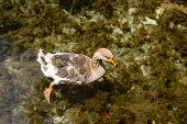 wild-goose swimming in the pond in transparent water, wild nature