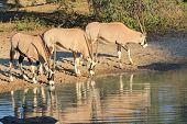 Oryx / Gemsbok - Wildlife Background from Africa - Beautiful Reflection of Freedom