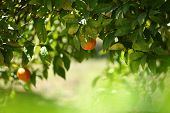 picture of clementine-orange  - Orange tree with hanging fruit in an orchard - JPG