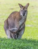 foto of wallaby  - Mother wallaby with little one in her pouch - JPG