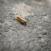 pic of woodlouse  - Sea slater  - JPG