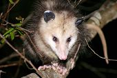 picture of opossum  - opossum great smoky mountains - JPG