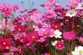 foto of cosmos flowers  - the pink beautiful cosmos flower in field - JPG