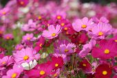 image of cosmos flowers  - the pink beautiful cosmos flower in field - JPG