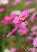 pic of cosmos flowers  - close - JPG