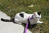 picture of puss  - Adult female feline wearing a purple harness attached to a leash laying in the lawn grass on a sunny day.