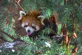 Red Panda In The Pine Trees