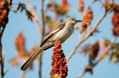 stock photo of mockingbird  - Northern Mockingbird eating Sumac during spring migration - JPG