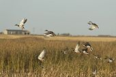 stock photo of pintail  - A flock of Mallards taking flight from a wetland - JPG