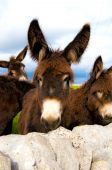 foto of soma  - group of donkeys near the wall of stones with grass and sky background - JPG