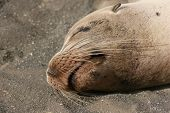 pic of sea lion  - Head shot of a sleeping Sea Lion - JPG