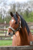 foto of breed horse  - Headshot of a beautiful bay horse in the pinfold - JPG