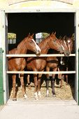foto of thoroughbred  - Nice thoroughbred foals in the stable door - JPG