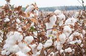 stock photo of paysage  - Stunning rural closeup on flowers of cotton harvest in northern Israel. [[** Note: Shallow depth of field ** Note: Visible grain at 100%, best at smaller sizes - JPG