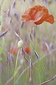 image of poppy flower  - red poppy wildflower - JPG