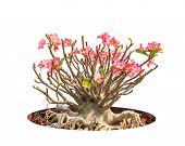 image of desert-rose  - Adenium obesum tree also known as Desert Rose Impala Lily Mock Azalea tropical tree in the northeast of Thailand isolated on white background - JPG