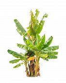 pic of banana tree  - Banana trees tropical tree in the northeast of Thailand isolated on white background - JPG
