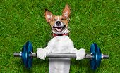 stock photo of bing  - super strong dog lifting bing blue dumbbell bar - JPG