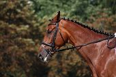 pic of bay horse  - Bay horse portrait during horse dressage competition - JPG